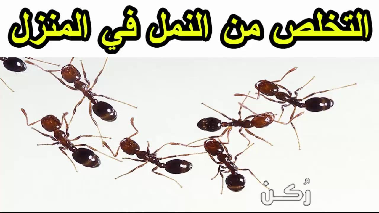 افضل طريقة تساعد في القضاء على النمل في المنزل