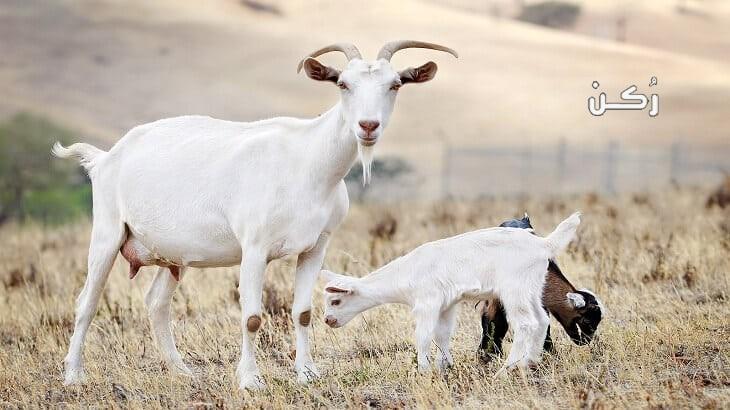 تفسير رؤية الماعز في المنام لأبن سيرين
