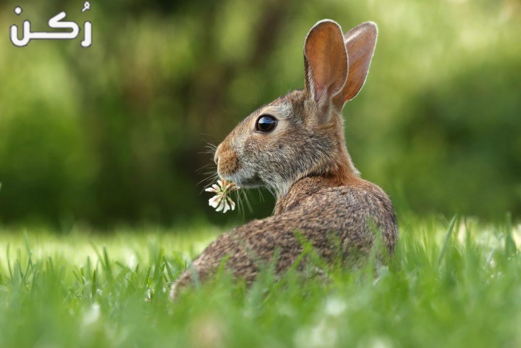 كيفية تربية الأرانب للمبتدئين والربح منها بمشروعات صغيرة