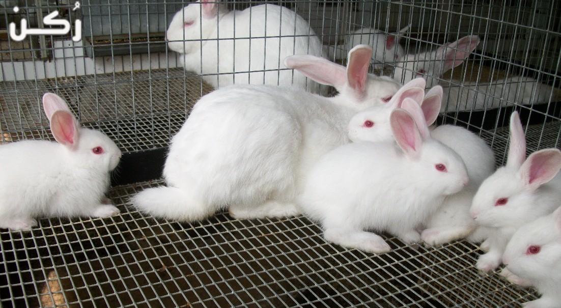 كيفية تربية الأرانب في البطاريات والطريقة الصحيحة لذلك