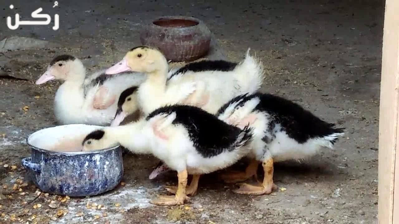 تعلم تربية البط البغال والمولار في المنزل بكل سهولة