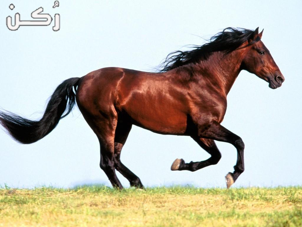 معلومات هامة عن تربية الخيول والعناية بها للمبتدئين