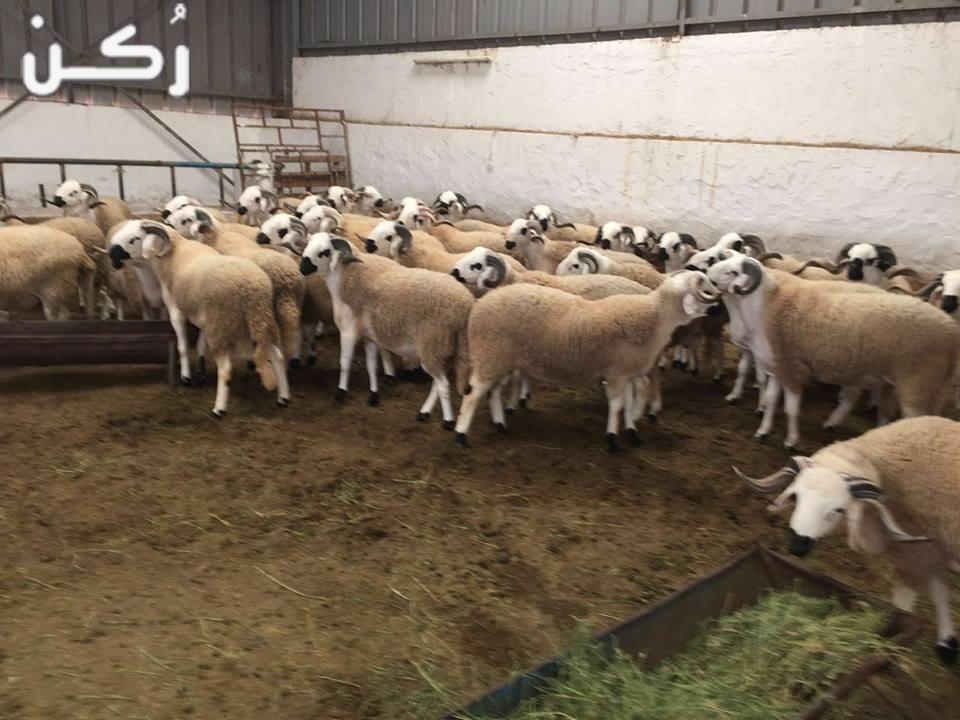افضل انواع الأعلاف لتسمين المواشي في مصر