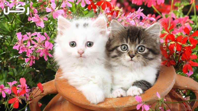 افضل انواع القطط المنزلية ومواصفاتها لسهوله اختيار القط المناسب