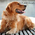 ما حكم تربية الكلاب في المنزل وآراء المذاهب الأربعة