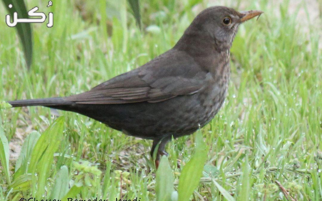 معلومات عن طائر الشحرور Blackbird