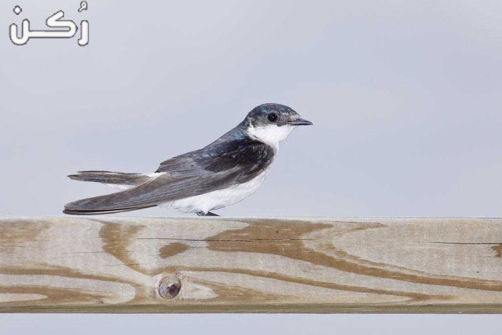 تفسير حلم طائر السنونو في المنام لابن سيرين