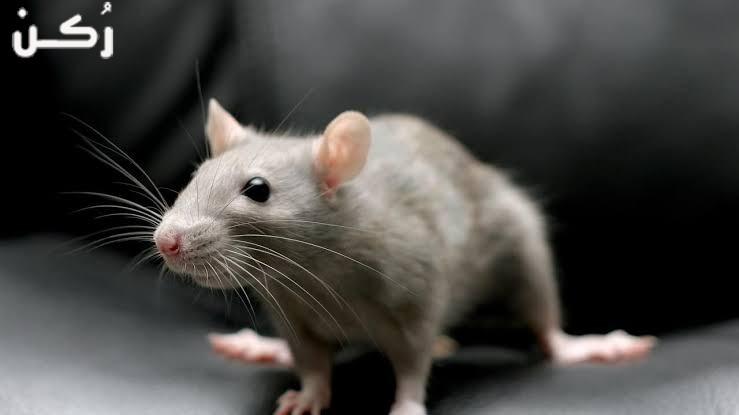 ما هو تفسير حلم قتل الفئران في المنام؟