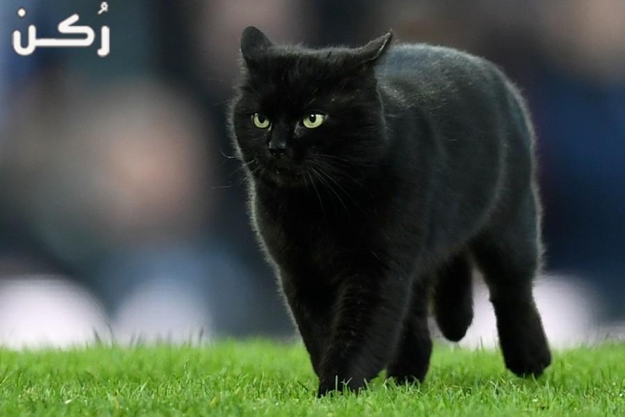 تفسير حلم رؤية القطة السوداء في المنام