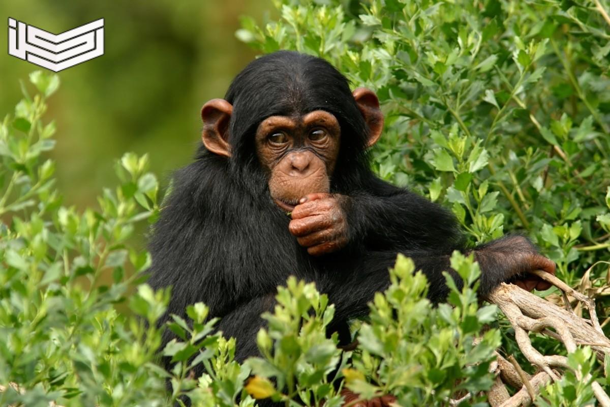 تفسير حلم رؤية القرود في المنام للعزباء والمتزوجة والرجل