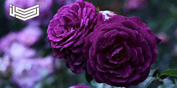 إهداء الورود في المنام