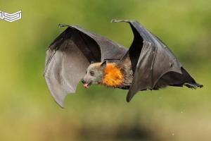 تفسير رؤية الخفاش في المنام للعزباء والمتزوجة والحامل والرجل