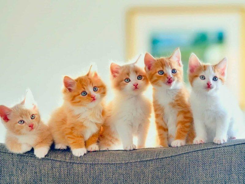 أجمل صور قطط شيرازي أليفة