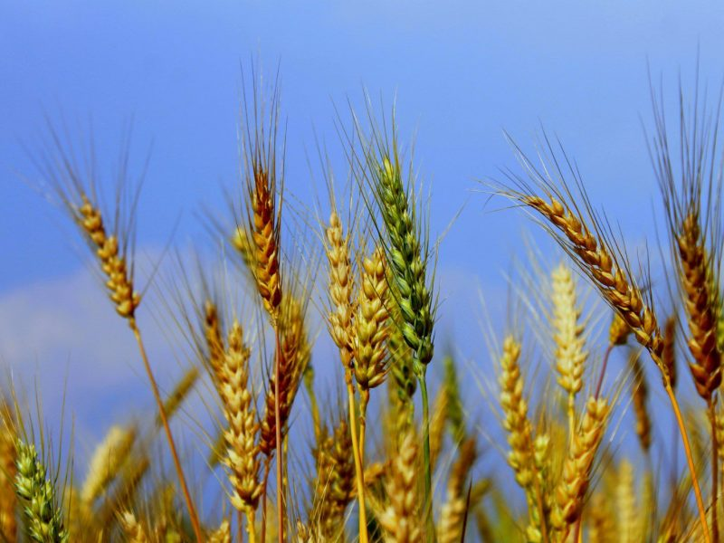 تفسير رؤية القمح في المنام لابن سيرين