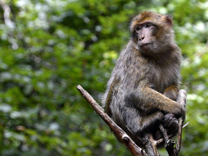 تفسير رؤية القرد في المنام لابن سيرين
